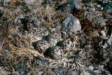 American Golden-Plover - Amerikaanse Goudplevier - Pluvialis dominica
