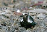 Black-bellied Plover - Zilverplevier - Pluvialis squatarola