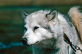 Sledge dog - Sledehond
