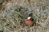 Red Phalarope - Rosse Franjepoot -  Phalaropus fulicarius