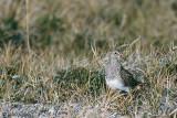 Pectoral Sandpiper - Gestreepte Strandloper - Calidris melanotos