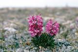 Woolly Lousewort - Wollig Kartelblad - Pedicularis lanata