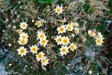 Entireleaf Mountain Avens - Dryas integrifolia