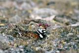 Ruddy Turnstone - Steenloper - Arenaria interpres