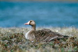 Greater White-fronted Goose - Kolgans - Anser albifrons