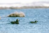 Long-tailed Duck - IJseend - Clangula hyemalis
