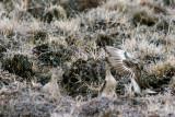 Buff-breasted Sandpiper - Blonde Ruiter - Tryngites subruficollis