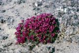 Purple Saxifraga - Zuiltjessteenbreek - Saxifraga oppositifolia