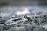 Lapland Bunting - IJsgors - Calcarius lapponicus