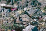 Horned Lark - Strandleeuwerik - Eremophila alpestris