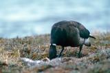 Black Brant - Zwarte Rotgans - Branta bernicla nigricans