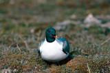 Sabine's Gull - Vorkstaartmeeuw - Larus sabini