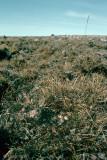 Semipalmated Sandpiper - Grijze Strandloper - Calidris pusilla