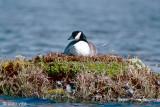Cackling Goose - Kleine Canadese Gans - Branta hutchinsii