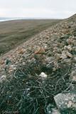 Rough-legged Hawk - Ruigpootbuizerd - Buteo lagopus