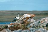 Rock Ptarmigan - Alpensneeuwhoen - Lagopus muta