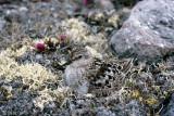 Baird's Sandpiper - Bairds Strandloper - Calidris bairdii
