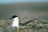 Long-tailed Skua - Kleinste Jager - Stercorarius longicaudus