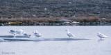 Glaucous Gull - Grote Burgemeester - Larus hyperboreus