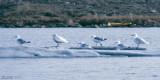 Thayer's Gull - Thayers Meeuw - Larus thayeri