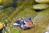 fringillidae_scinkavec_and_water