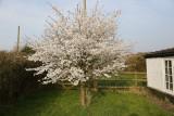 March 29 - Cherry blossom