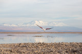 Flamingo in the Salar de Atacama, Chile