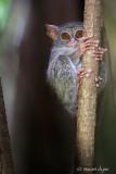 Spectral Tarsier, Tangkoko Nature Reserve