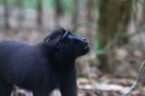 Sulawesi black macaque (Macaca nigra), Tangkoko Nature Reserve
