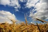 Barley in the Pentland Hills