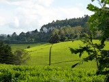 It's tea for miles here at the tea farm