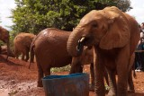 As they like to muck about in the mud, the elephants match the colour of the soil
