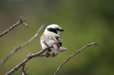 Oops, I didn't write this one down - a shrike I think