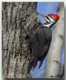 Grand Pic Mâle  -  Male Pileated Woodpecker
