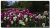 Festival des tulipes d'Ottawa - Ottawa's tulips festival