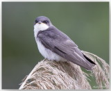 Hirondelle bicolore - Tree Swallow