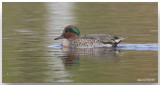 Sarcelle à ailes vertes - Green-winged Teal