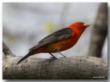 Piranga Écarlate Mâle- Male Scarlet Tanager