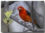 Piranga Écarlate Mâle - Male Scarlet Tanager