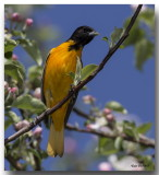 Oriole de Baltimore Mâle - Male Baltimore Oriole