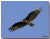 Urubu à tête rouge - Turkey Vulture