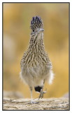 Le Grand Géocoucou - The Greater Roadrunner