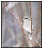 Pie-grièche grise - Northern Shrike