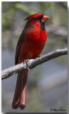 Cardinal Rouge Mâle - Male Northern Cardinal