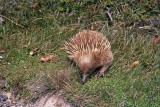 Australian Monotremes