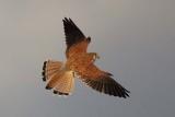 Australian Non-passerines