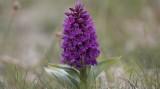 Wildflowers of Unst, Shetland