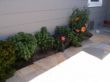 Dahlias and salvia just starting in front bed