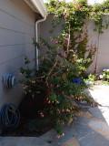 Very old fuschia bush just pruned back