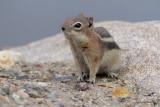 Black-Mantled Ground Squirrel